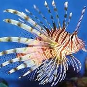 Рыбка Морской дьявол фото