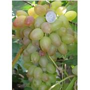 Виноград сорт Багровый фото