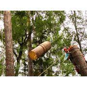 Валка деревьев Донецк фото