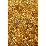Культуры зерновые зерно фуражное продам в Виннице. фото