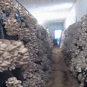 Строительство грибных производств от 200 до 5000 м кв., Выращивание грибов фото