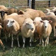 Ветеринарные препараты для овец фото