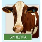 Разведение крупного рогатого скота. Разведение коров Галштанской породы. фото