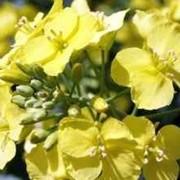 Семена гибрида рапса ПР44Д06/PR44D06 MAXIMUS от компании ПИОНЕР фото