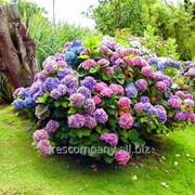 Гортензия Hydrangea anomalasubsp.petiolaris Silver Lining PBR рост 80 – 100 фото