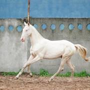 Продаётся жеребец ахалтекинской породы. кличка Адамант/Akhal-Teke stallion for sale. nickname Adamant фото