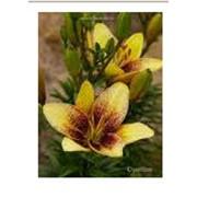 Луковицы лилий Asiatic lilium фото