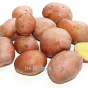Картофель сорт Ароза элита фото