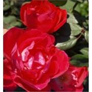 Розы парковые продажа Шахтерск Украина фото