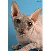 Коты сфинксы фото