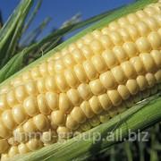 Кукуруза замороженная фото