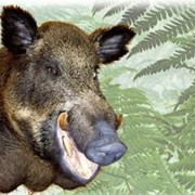 Чучело кабана. Изготовление чучел кабана и других животных Бровары. фото