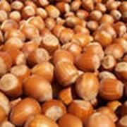 Лесной орех, или лещина фото