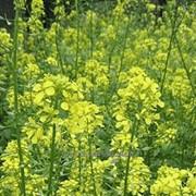 Горчица желтая Люкс фото