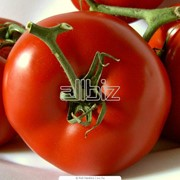 Семена томатов ранних сортов фото