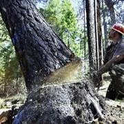 Спилить дерево фото