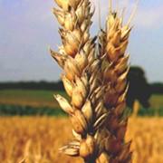 Семена озимой пшеницы Донской сюрприз, Зерноградка 11, Памяти Калиненко, Ермак, Марафон, Станичная фото