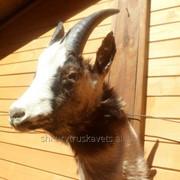 Чучело козы горной, серая 2 а фото