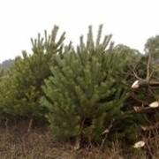Деревья новогодние оптом фото