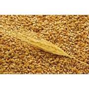 3-й класс пшеница фото