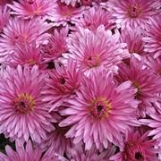 """Златоцвет, дендронтема садовая (Dendranthema)""""Clara Curtis"""" фото"""
