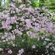 Цветущих кустарников фото