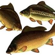 Карп, личинка, рыбопосадочный материал фото