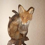 Чучела животных, кабана, косули, оленя, барана, лисы, сокола, сова, куница, орел, продажа, доставка фото