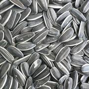 Семена подсолнечника оптом фото