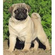 Мопс щенок бежевого окраса, мальчик, 8 месяцев фото