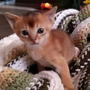Котята Абиссинской и Бурманской породы фото