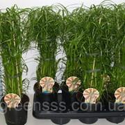Циперус очереднолистный -- Cyperus alternifolius фото