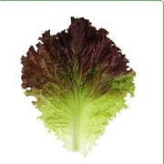 Семена Китано. Салат KS 155 фото