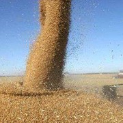 Пшеница четвертого класса, пшеница на экспорт фото
