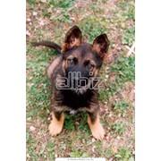 Дрессировка щенков, школа дрессировки собак фото