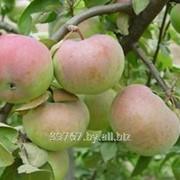 Саженцы яблонь Надзейны фото