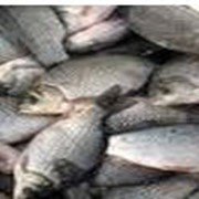 Рыболовство в реках, озерах, водохранилищах, прудах - КАРАСИ фото