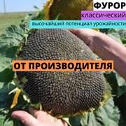 Семена подсолнечника Торук фото