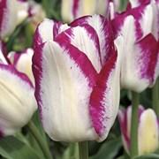 Луковицы тюльпанов на выгонку фото