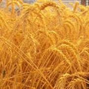 Закупка семян,зерновых культур, сои, семечки. фото