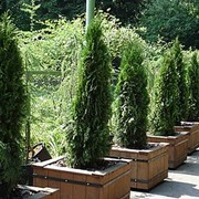 Семена хвойных растений фото