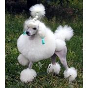 Стрижка собак. фото