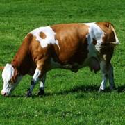 Определение стельности у коров на 55-60 день после проведенного искусственного осеменения ректальным методом с подтверждением УЗИ фото