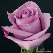 Роза Cool-water фото