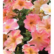 Петуния крупноцветковая + многоцветковая Yellow Rose фото
