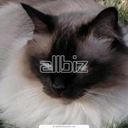 Стрижка кошек фото