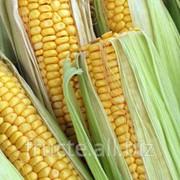 Кукуруза продовольственная в Молдове фото