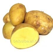 Семенной картофель Адретта 2репродукция фото