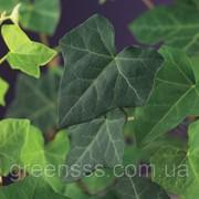 Плющ ирландский -- Hedera hibernica фото