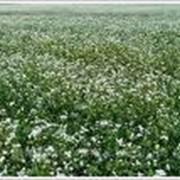 Закупка семян для растениеводства - гречка фото